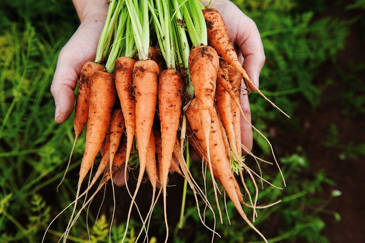 We grow a wide range of crops including Chantenay carrots and parsnips